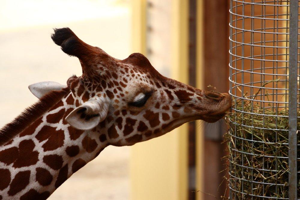 Een etende giraf in dierentuin of diergaarde Blijdorp in Rotterdam